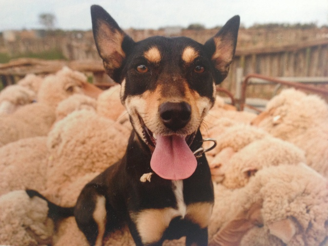 Currently reading: Great Australian working dog stories